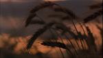 18.Wheat